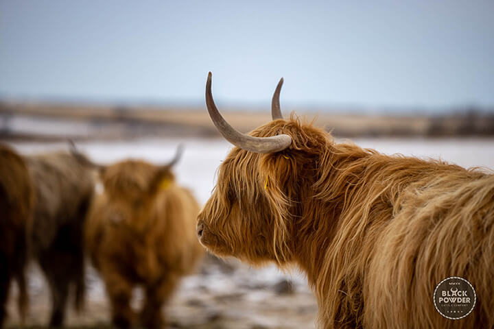 A scottish highland cow in a field at Black Powder Cattle Company