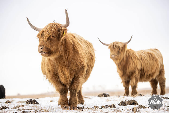 Blackpowder Cattle Company Scottish Highland Cattle