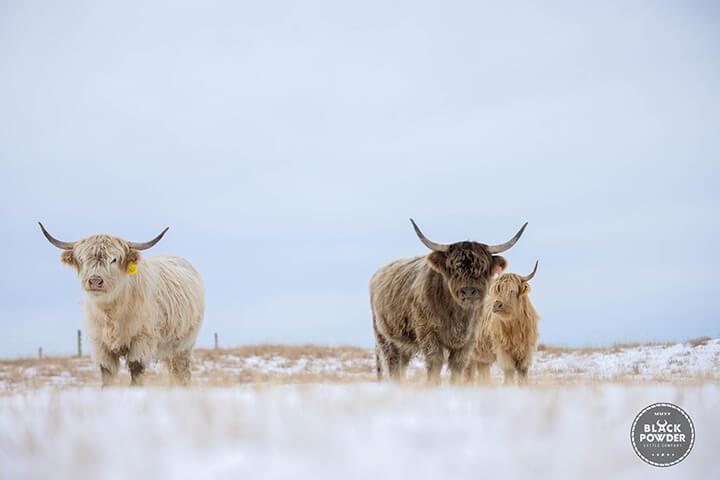 Blackpowder Scottish Highland Cattle in Field