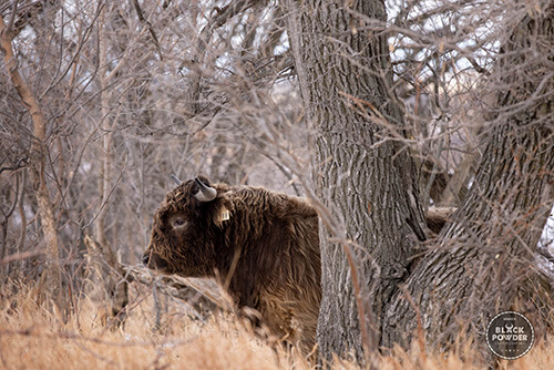 Scottish highland cow from Black Powder Cattle Company hiding in the trees